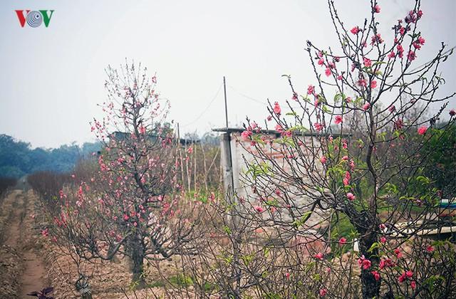 Đào nở bung đỏ rực trước Tết dương lịch, người trồng thấp thỏm sợ thất thu - Ảnh 7.