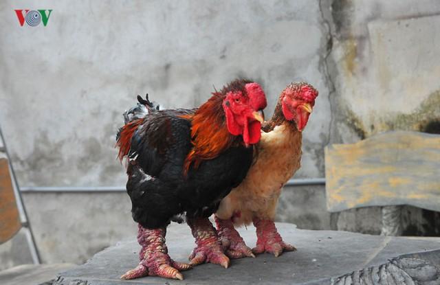 Thực hư chuyện gà Đông Tảo giá vài chục triệu đồng/con làm quà Tết - Ảnh 2.