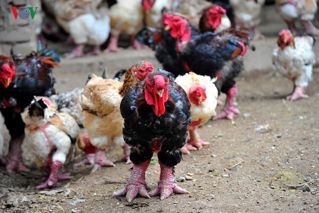Thực hư chuyện gà Đông Tảo giá vài chục triệu đồng/con làm quà Tết - Ảnh 6.
