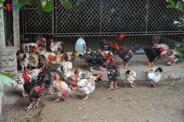 Thực hư chuyện gà Đông Tảo giá vài chục triệu đồng/con làm quà Tết - Ảnh 7.