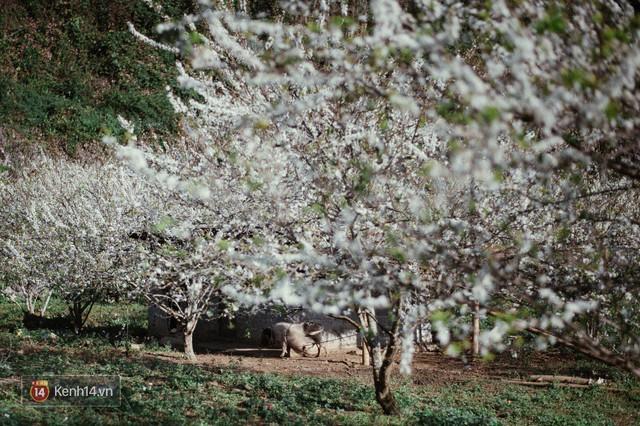 Những ngày cận Tết, hoa mận trắng nở rộ Mộc Châu đẹp đến mê mẩn - Ảnh 1.