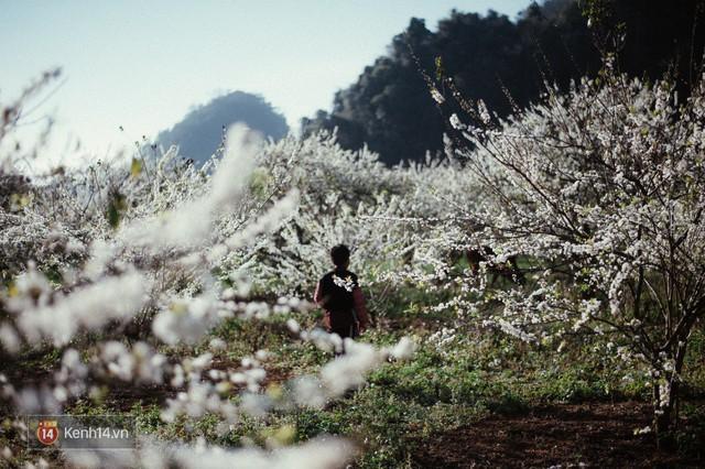 Những ngày cận Tết, hoa mận trắng nở rộ Mộc Châu đẹp đến mê mẩn - Ảnh 2.