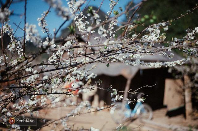 Những ngày cận Tết, hoa mận trắng nở rộ Mộc Châu đẹp đến mê mẩn - Ảnh 5.