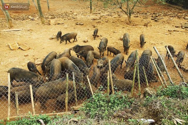 23 tuổi bỏ Đại học, về nhà nuôi lợn rừng kiếm 250 triệu đồng/năm - Ảnh 2.