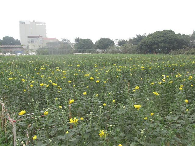 Trồng hoa cúc dư ra trăm triệu đồng trên 450m2 ruộng - Ảnh 2.