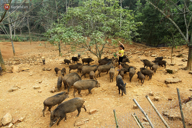 23 tuổi bỏ Đại học, về nhà nuôi lợn rừng kiếm 250 triệu đồng/năm - Ảnh 4.