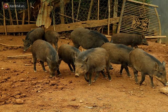 23 tuổi bỏ Đại học, về nhà nuôi lợn rừng kiếm 250 triệu đồng/năm - Ảnh 5.