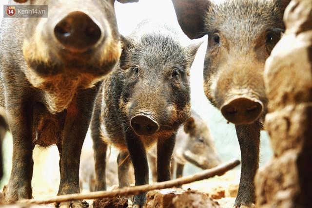 23 tuổi bỏ Đại học, về nhà nuôi lợn rừng kiếm 250 triệu đồng/năm - Ảnh 8.