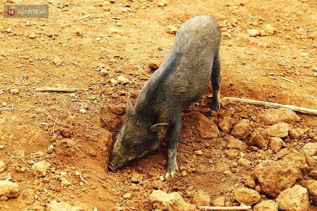23 tuổi bỏ Đại học, về nhà nuôi lợn rừng kiếm 250 triệu đồng/năm - Ảnh 10.