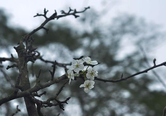 Nhà giàu Hà Nội chi tiền triệu chơi hoa lê rừng sau Tết  Kinh tế - Ảnh 2.