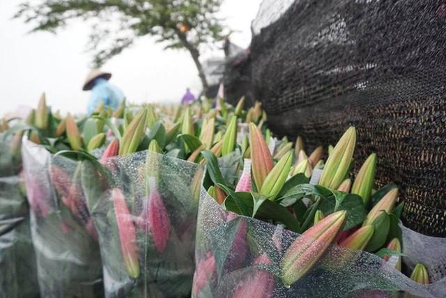 Hà Nội: Làng hoa Tây Tựu nở trái mùa, nông dân khóc ròng vì cắm nhà trả nợ - Ảnh 7.