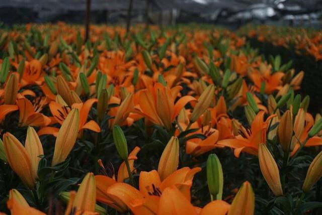Hà Nội: Làng hoa Tây Tựu nở trái mùa, nông dân khóc ròng vì cắm nhà trả nợ - Ảnh 11.