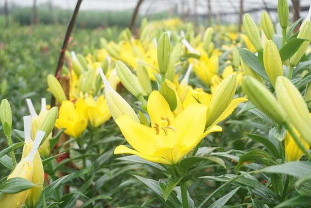 Hà Nội: Làng hoa Tây Tựu nở trái mùa, nông dân khóc ròng vì cắm nhà trả nợ - Ảnh 12.