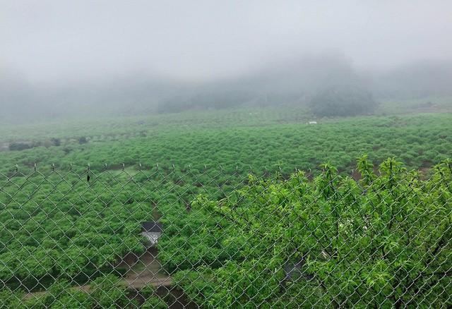 Nông dân Nà Ka thu nửa tỉ mỗi năm từ cây mận - Ảnh 1.