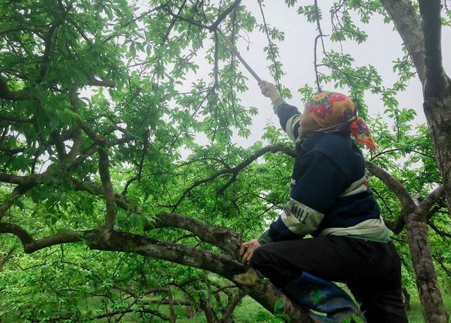 Nông dân Nà Ka thu nửa tỉ mỗi năm từ cây mận - Ảnh 2.