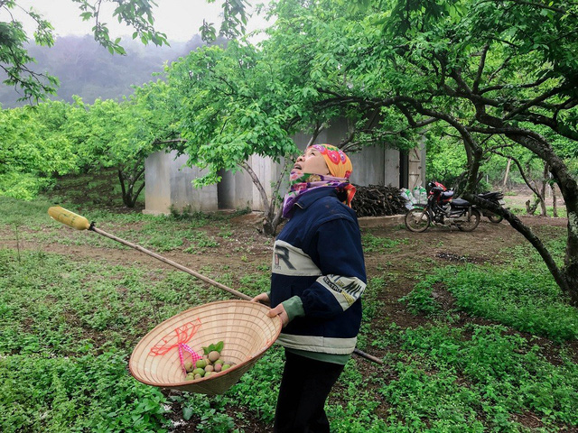 Nông dân Nà Ka thu nửa tỉ mỗi năm từ cây mận - Ảnh 4.
