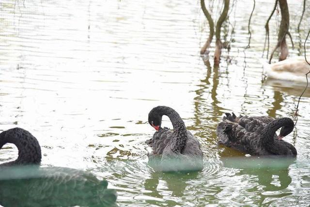 Hà Nội thả đàn thiên nga đen và trắng ở Hồ Gươm - Ảnh 2.