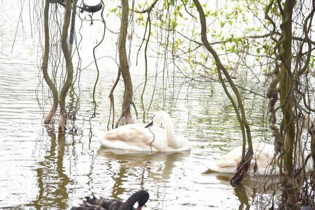 Hà Nội thả đàn thiên nga đen và trắng ở Hồ Gươm - Ảnh 3.