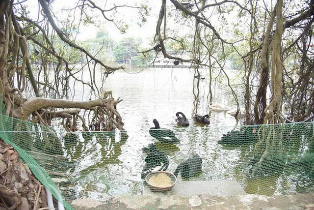 Cận cảnh đàn thiên nga giá 20 triệu đồng/con tại Hồ Gươm nhập từ nước ngoài - Ảnh 6.