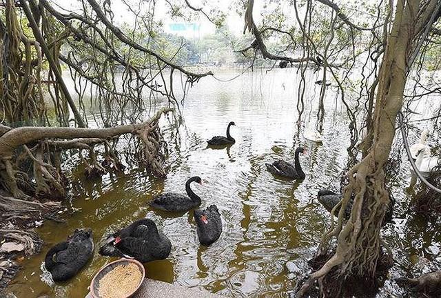 Đàn thiên nga ở hồ Gươm bị bắt đi trong đêm - Ảnh 1.