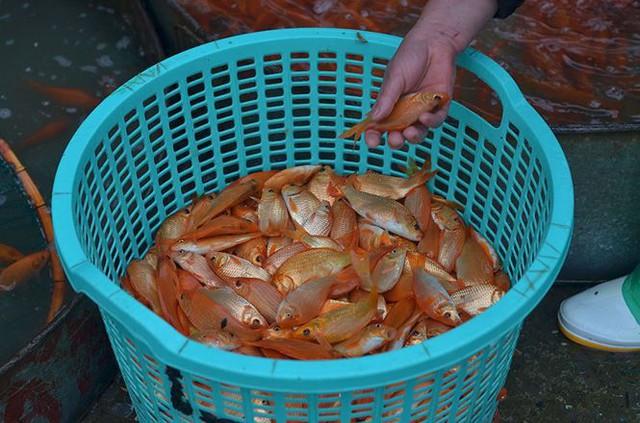 Đỏ rực chợ cá chép lớn nhất Thủ đô trước ngày ông Táo - Ảnh 2.