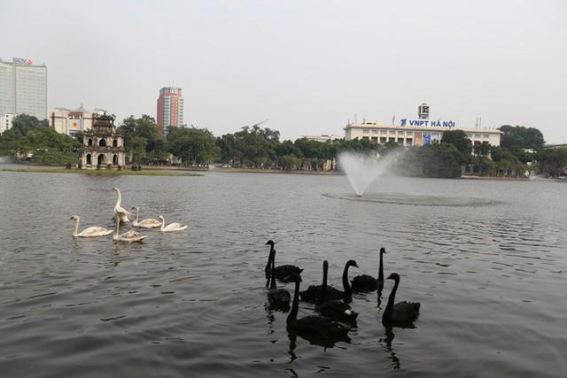 12 con thiên nga đã được ô tô chở sang một hồ khác tại Hà Nội - Ảnh 1.
