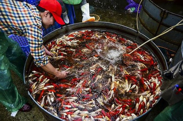Đỏ rực chợ cá chép lớn nhất Thủ đô trước ngày ông Táo - Ảnh 12.