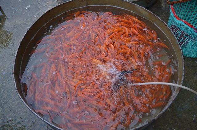 Đỏ rực chợ cá chép lớn nhất Thủ đô trước ngày ông Táo - Ảnh 3.