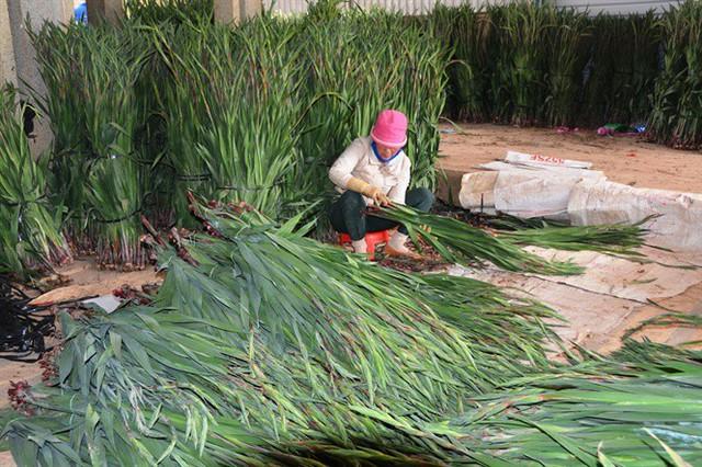 Chất lượng vượt trội, người trồng hoa tết Đà Lạt lãi lớn - Ảnh 2.