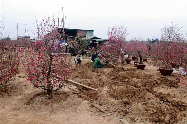 Nông dân đi đánh gốc đào thuê: Mỗi ngày kiếm tiền triệu - Ảnh 1.