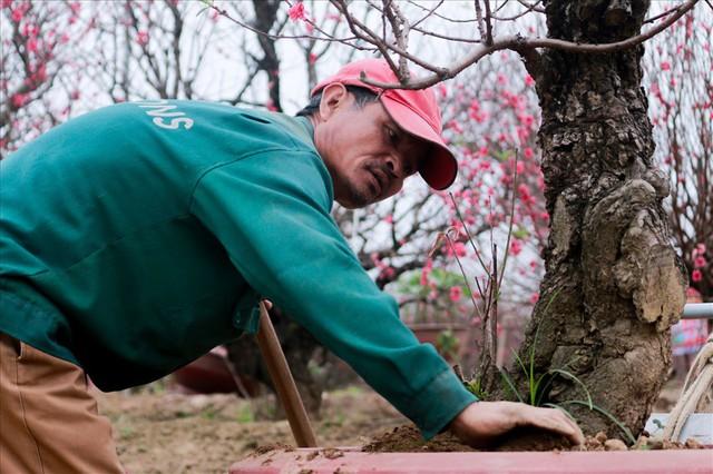 Nông dân đi đánh gốc đào thuê: Mỗi ngày kiếm tiền triệu - Ảnh 5.