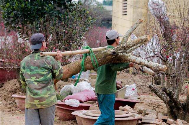 Nông dân đi đánh gốc đào thuê: Mỗi ngày kiếm tiền triệu - Ảnh 8.