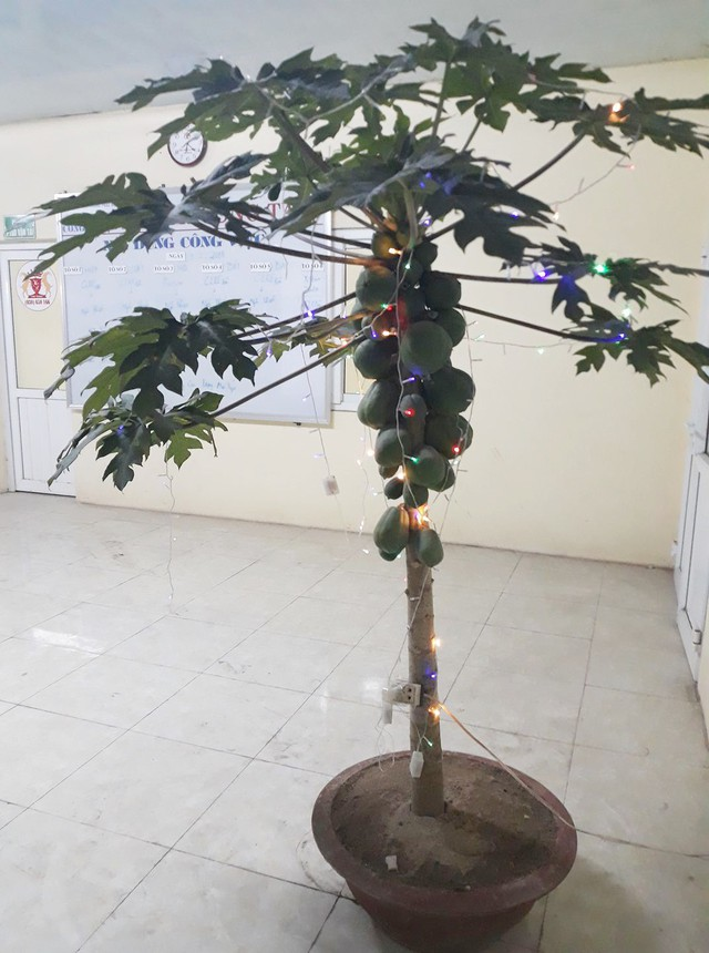 Sếp giao đi mua đào quất, nhân viên xin nguyên cây đu đủ trĩu quả về công ty chưng Tết - Ảnh 2.