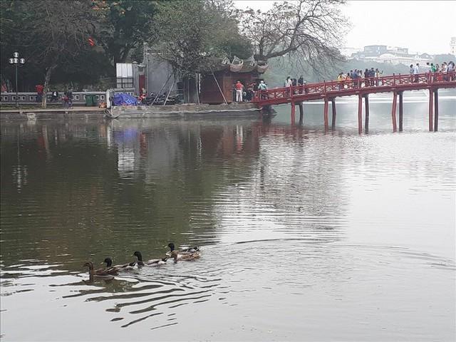 Hà Nội sẽ thông báo rộng rãi tìm chủ nhân của đàn vịt ở Hồ Gươm - Ảnh 1.