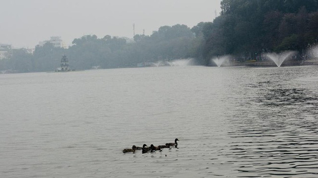 Hà Nội sẽ thông báo rộng rãi tìm chủ nhân của đàn vịt ở Hồ Gươm - Ảnh 2.