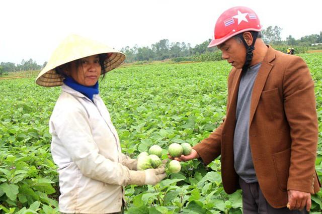 Cà dừa được mùa, giá cả ổn định, dân đi hái như trẩy hội - Ảnh 2.