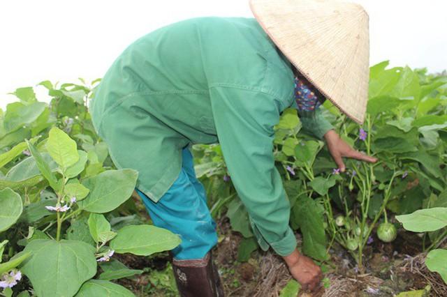 Cà dừa được mùa, giá cả ổn định, dân đi hái như trẩy hội - Ảnh 3.
