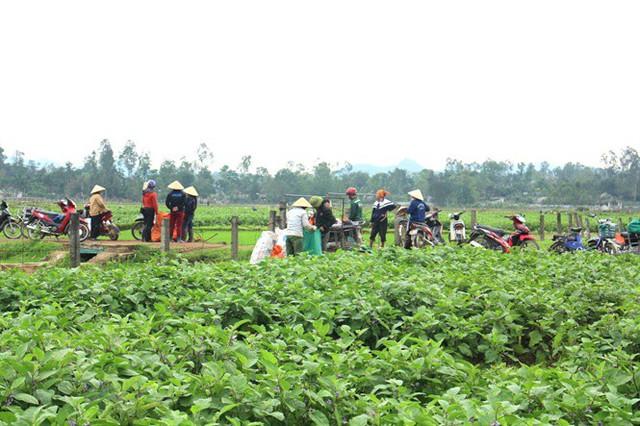 Cà dừa được mùa, giá cả ổn định, dân đi hái như trẩy hội - Ảnh 4.