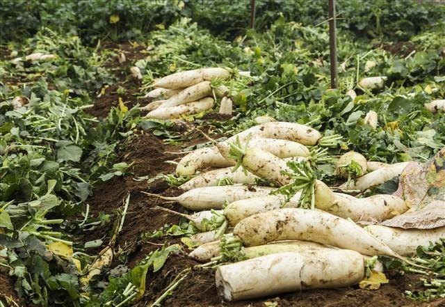 Cánh đồng ngập trắng củ cải bị vứt bỏ vì không ai mua - Ảnh 11.