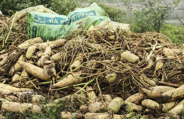 Cánh đồng ngập trắng củ cải bị vứt bỏ vì không ai mua - Ảnh 3.