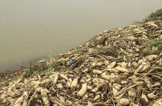 Cánh đồng ngập trắng củ cải bị vứt bỏ vì không ai mua - Ảnh 6.