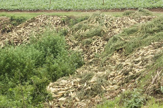 Cánh đồng ngập trắng củ cải bị vứt bỏ vì không ai mua - Ảnh 7.
