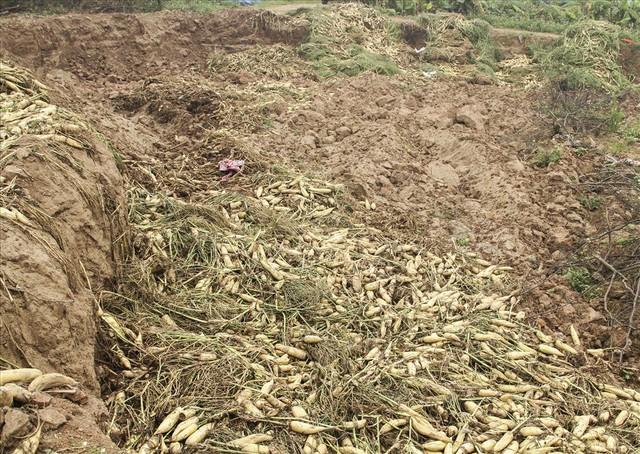 Cánh đồng ngập trắng củ cải bị vứt bỏ vì không ai mua - Ảnh 8.
