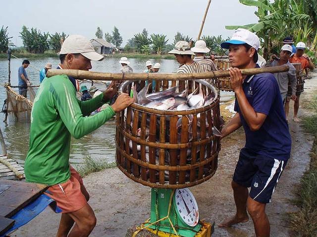 Thuế tăng sốc gần 10 lần, cá tra Việt hết đường sang Mỹ - Ảnh 1.
