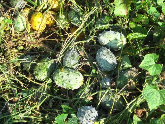 Loại dưa đầy gai vị giống kiwi có giá 400k/quả ở Việt Nam có gì đặc sắc - Ảnh 4.