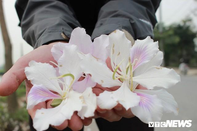 Ảnh: Chiêm ngưỡng hoa ban Tây Bắc nhuộm trắng con đường ven đô Hà Nội - Ảnh 5.