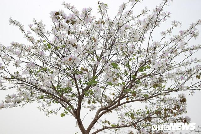 Ảnh: Chiêm ngưỡng hoa ban Tây Bắc nhuộm trắng con đường ven đô Hà Nội - Ảnh 8.