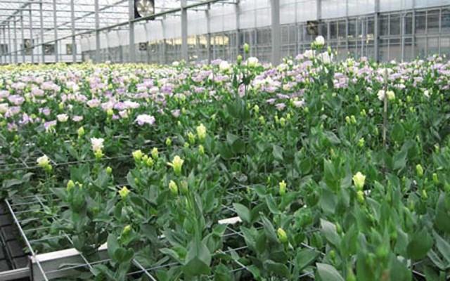 Những loại hoa giá bình dân ở Việt Nam lại siêu đắt trên thế giới - Ảnh 8.