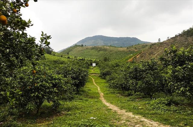 Cận cảnh vườn cam cho lãi gần 1 tỷ đồng/năm của nông dân Hòa Bình - Ảnh 1.