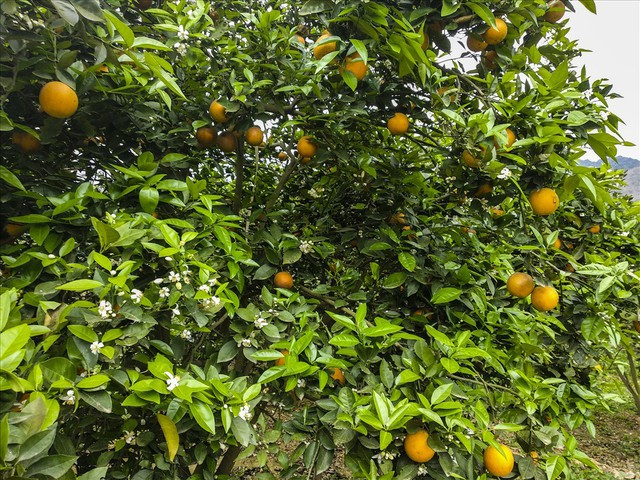 Cận cảnh vườn cam cho lãi gần 1 tỷ đồng/năm của nông dân Hòa Bình - Ảnh 2.